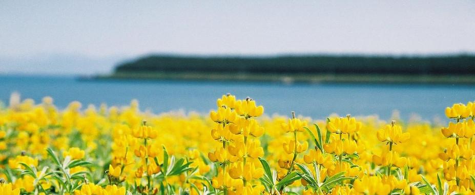 柏原海岸〈ルーピン畑〉 (東串良町) - ぐるっとおおすみ